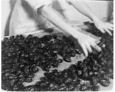 Manufacturing Prunes in Chocolate (Svitoch Company)