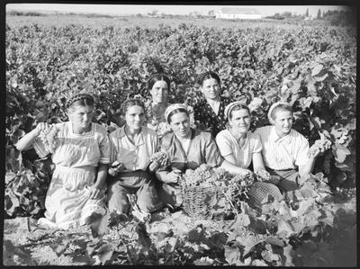 Збирання винограду